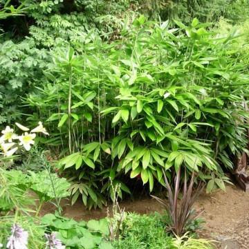 Bambus sasa szerokolistna (Sasa palmata) 'Nebulosa' 30-40 cm