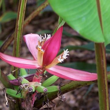 Karłowy bananowiec indyjski (Musa mannii) 5 nasion