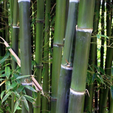 Fylostachys drobnolistny (Phyllostachys parvifolia) 30-50 cm