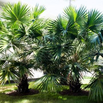 Liwistona australijska (Livistona australis) 5 nasion