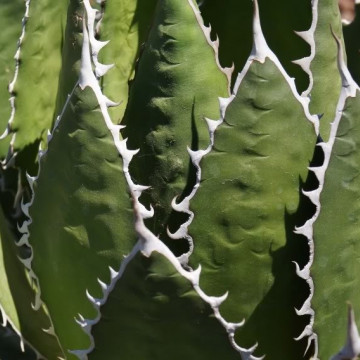 Agawa meskalowa (Agave horrida) 5 nasion