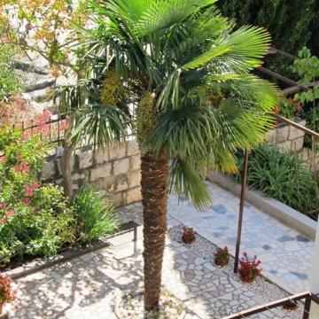 Szorstkowiec Fortunego (Trachycarpus fortunei) nasiona palmy 5 szt