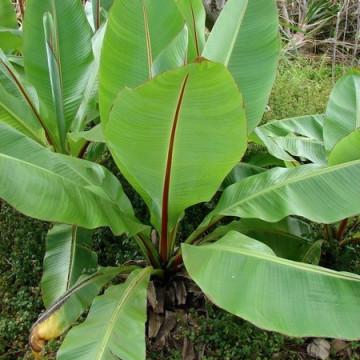Bananowiec abisyński (Ensete ventricosum) 5 nasion