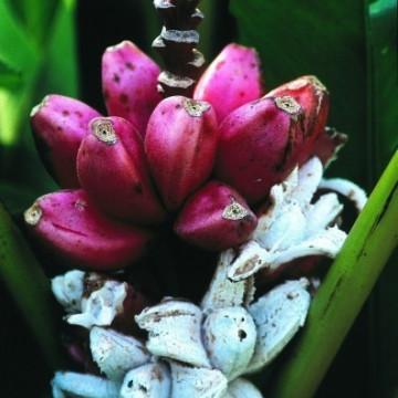 Różowy banan (Musa velutina) 5 nasion