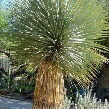 Juka Thompsona (Yucca thompsoniana) 5 nasion