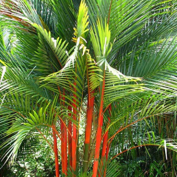 Palma czerwona Lipstick Palm (Cyrtostachys renda) 5 nasion