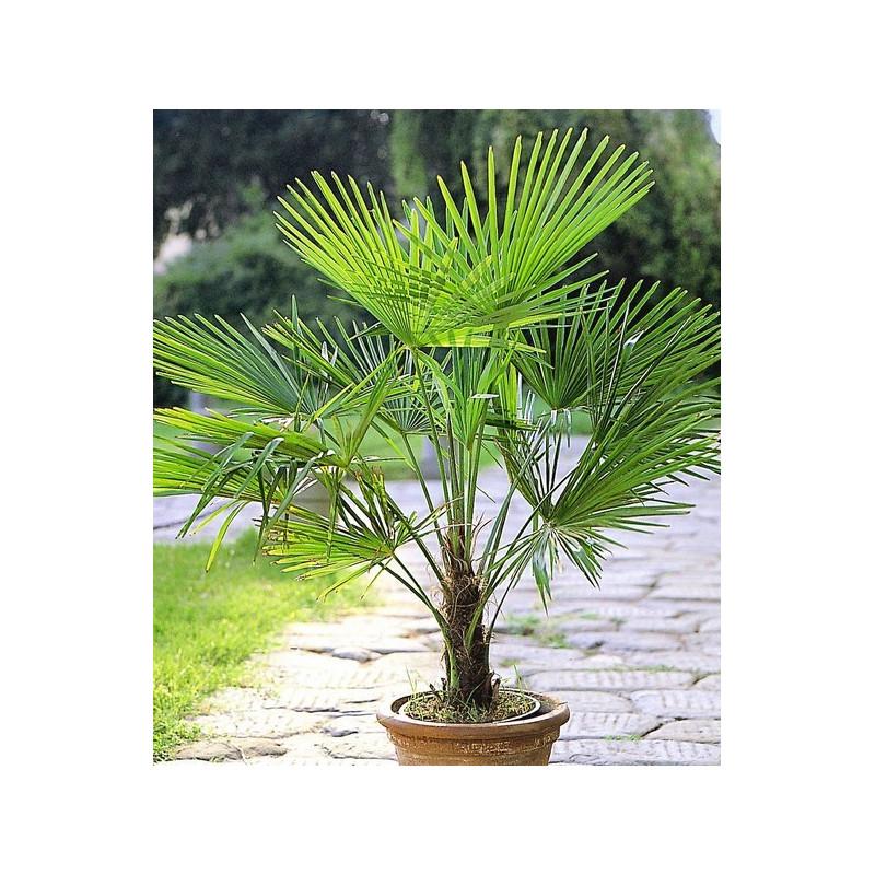 szorstkowiec fortunego trachycarpus fortunei nasiona palmy 5 szt oaza palmy. Black Bedroom Furniture Sets. Home Design Ideas