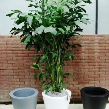 Palma orzechowa Katiota (Caryota mitis) 5 nasion