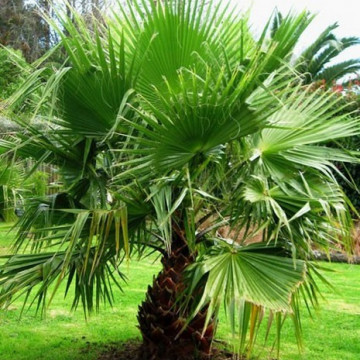 Waszyngtonia robusta (Washingtonia robusta) 5 nasion