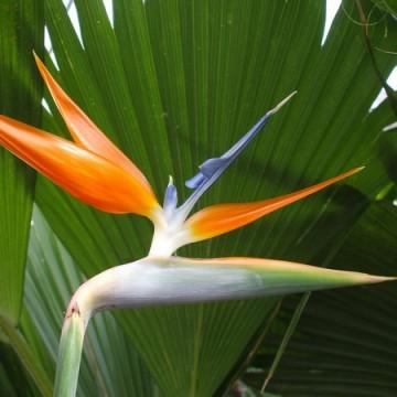Strelicja królewska Rajski Ptak (Strelitzia nicolai) 5 nasion