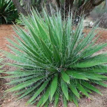 Agawa Schidigera (Agave schidigera) 5 nasion