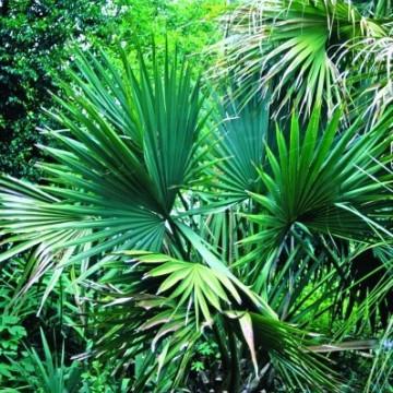 Palma sabalowa (Sabal minor) 5 nasion