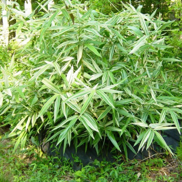 Bambus mieszańcowy (Hibanobambusa tranquillens) 'Shiroshima' sadzonka
