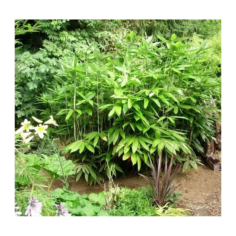 Bambus sasa szerokolistna (Sasa palmata) 'Nebulosa' - zdjęcie poglądowe