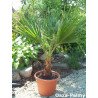 Waszyngtonia robusta (Washingtonia robusta) 5 nasion