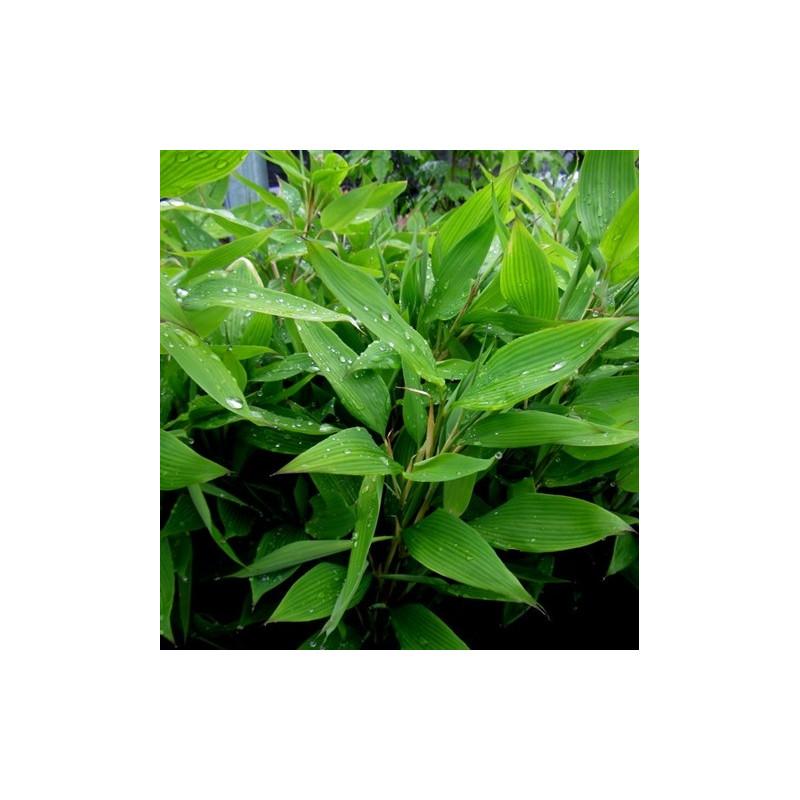 Bambus szibatea (Shibatea kumasaca) - zdjęcie poglądowe