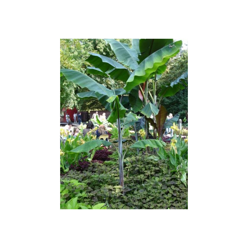 Fioletowy banan Cheesmana (Musa cheesmanii) 5 nasion