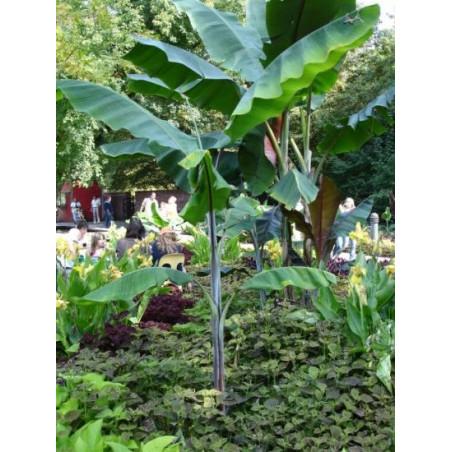 Bananowiec Cheesmana Musa cheesmanii nasiona