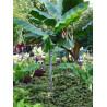 Fioletowy banan Cheesmana (Musa cheesmanii) nasiona