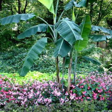 Niebieskie jadalne owoce - Banan himalajski (Musa itinerans 'Burmese Blue') 5 nasion