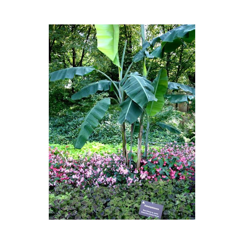 Bananowiec himalajski (Musa itinerans) 5 nasion