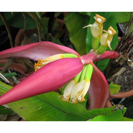 Indyjski bananowiec karłowy Musa manii nasiona