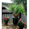Waszyngtonia nitkowata (Washingtonia filifera) nasiona