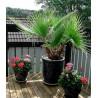 Waszyngtonia nitkowata (Washingtonia filifera) 5 nasion