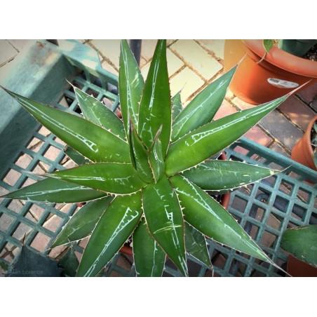 Agawa Zielony Gigant (Agave impressa) 5 nasion