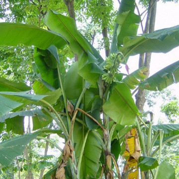 Bananowiec z Yunnan (Musa yunnanensis) 5 nasion