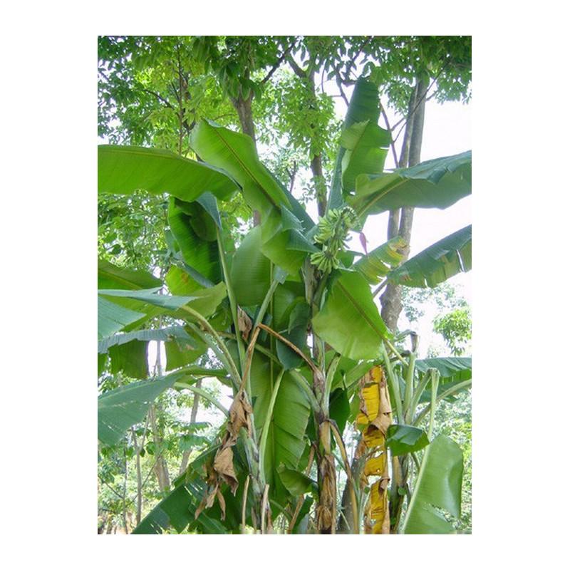 Bananowiec mrozoodporny z Yunnan (Musa yunnanensis) 5 nasion