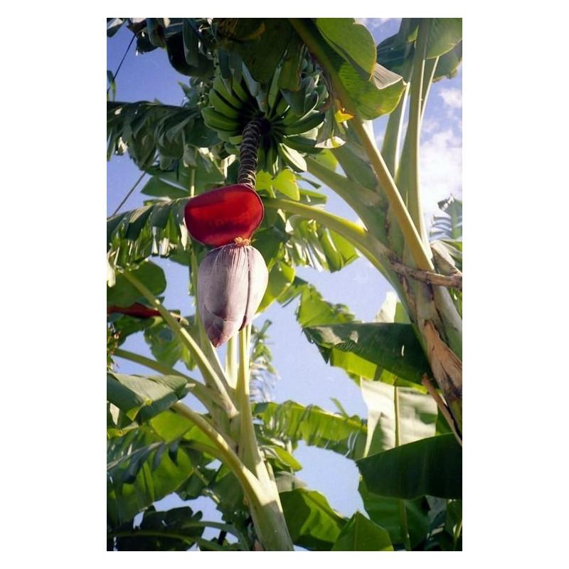 Bananowiec Balbisiana olbrzymi kwiat (Musa balbisiana) nasiona