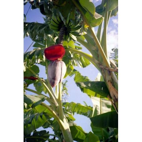 Bananowiec Balbisiana olbrzymi kwiat (Musa balbisiana) 5 nasion