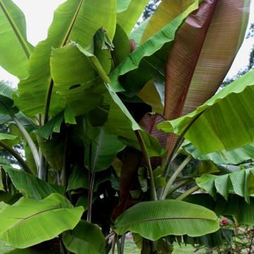 Bananowiec z czerwonawymi liścmi (Musa 'Helens Hybrid') nasiona