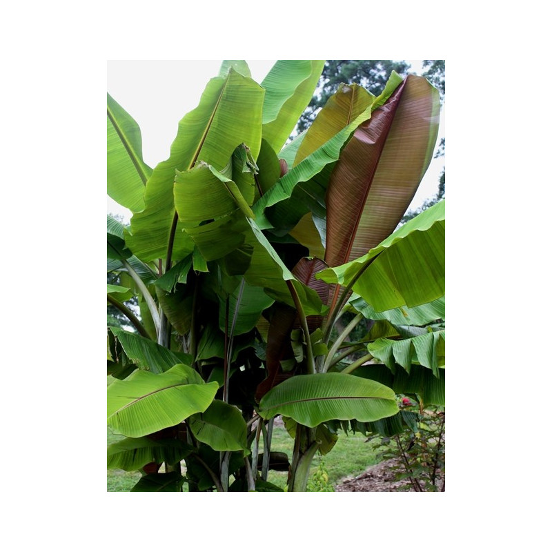 Bananowiec z czerwonawymi liścmi (Musa 'Helens Hybrid') 5 nasion