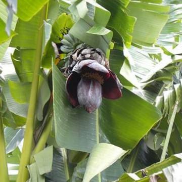 Bananowiec Thompsona (Musa thompsonii) 5 nasion