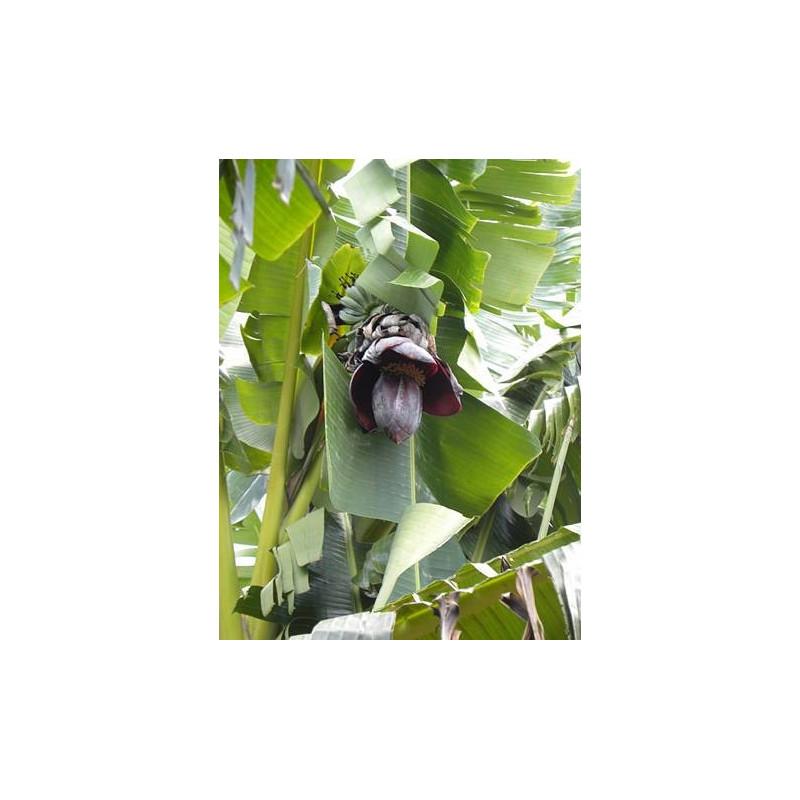 Bananowiec Thompsona (Musa thompsonii) nasiona
