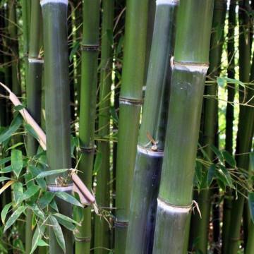 Fylostachys drobnolistny (Phyllostachys parvifolia) - zdjęcie poglądowe