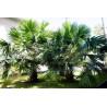 Liwistona australijska (Livistona australis) nasiona