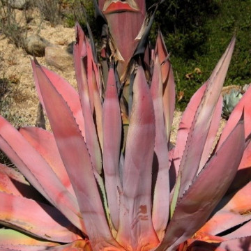 Czerwona agawa (Agave kerchovei) 5 nasion