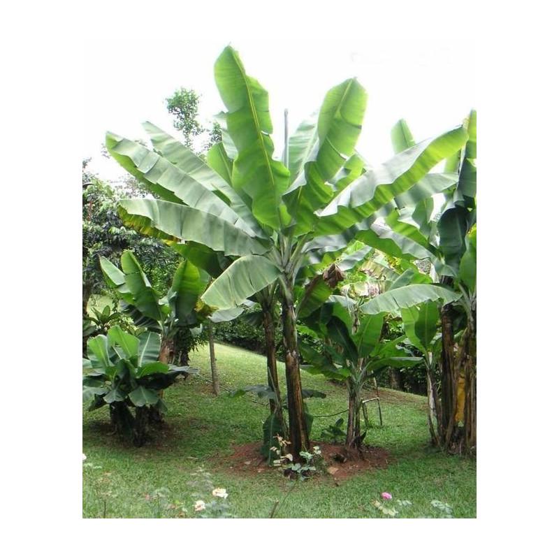 Banan śnieżny (Ensete glaucum) nasiona