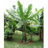 Banan śnieżny (Ensete glaucum) 5 nasion