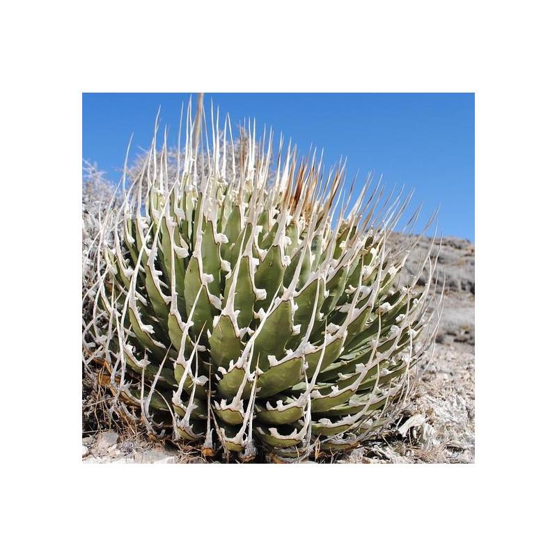 Agawa mrozoodporna (Agave utahensis var. nevadensis) 5 nasion