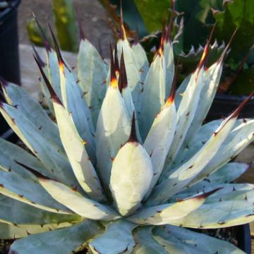 Agawa macroacantha (Agave macroacantha) 5 nasion