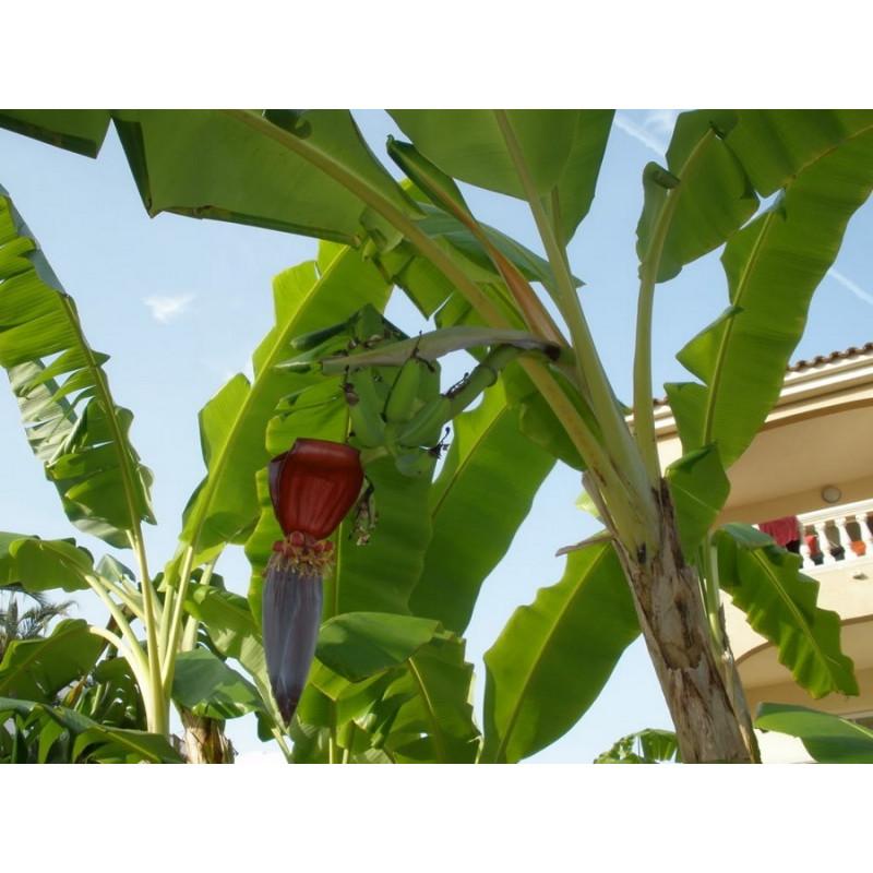 Banan z Yunnan (Musa yunnanensis) nasiona