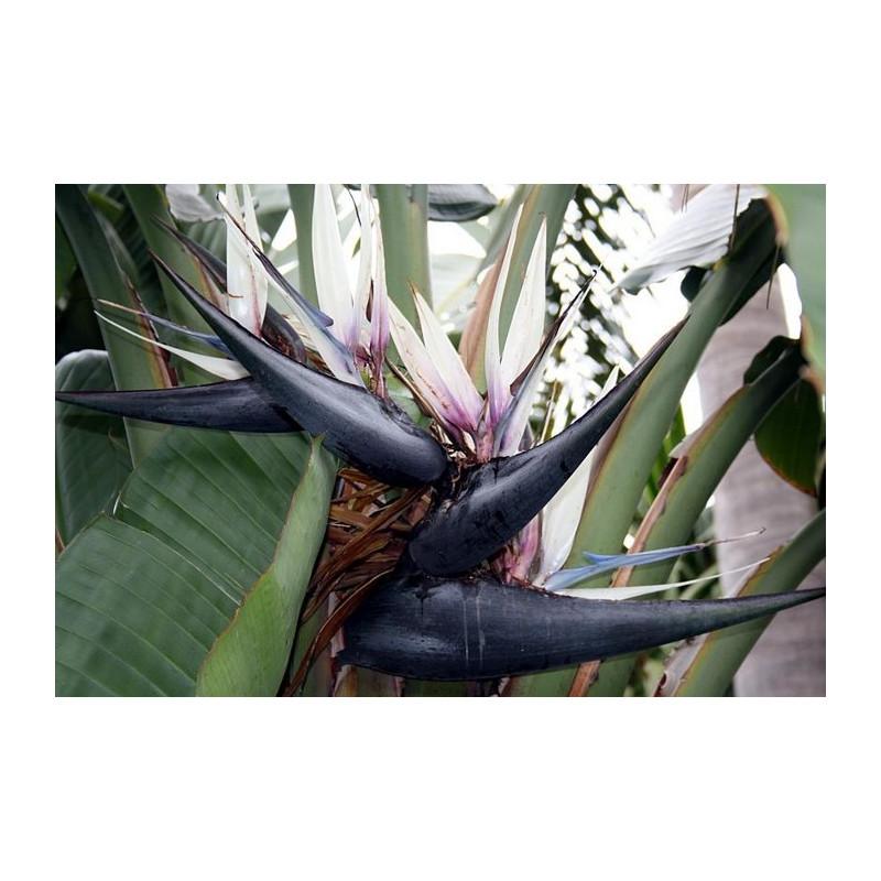 Biało-czarny Rajski Ptak strelicja (Strelitzia nicolai) nasiona