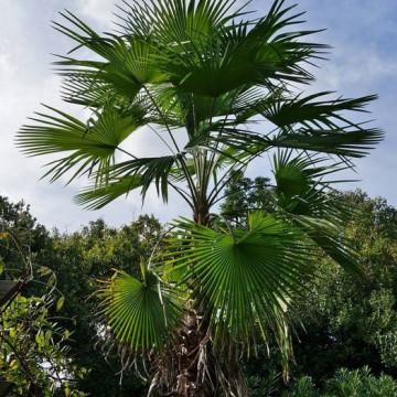 Szorstkowiec latisectus (Trachycarpus latisectus) 5 nasion