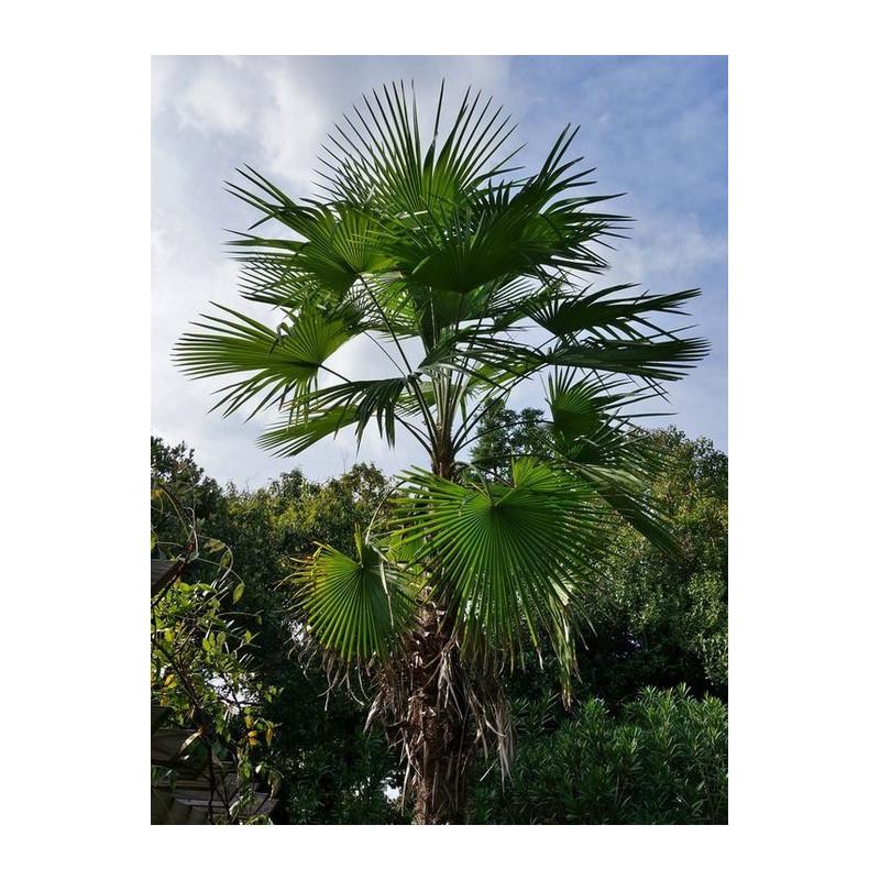Szorstkowiec latisectus (Trachycarpus latisectus) nasiona