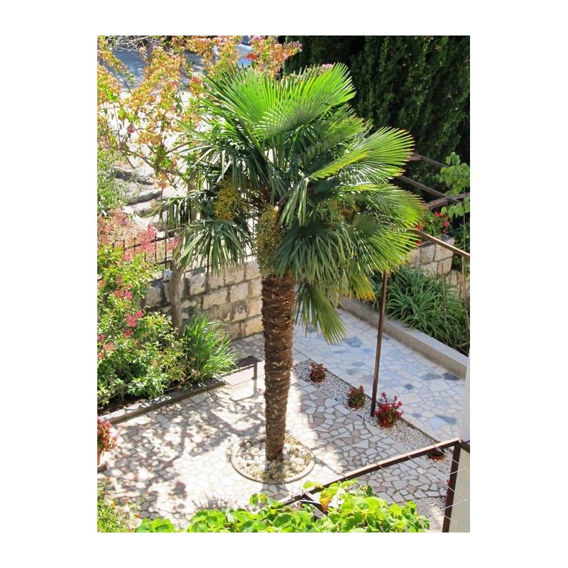 Szorstkowiec Fortunego (Trachycarpus fortunei) nasiona