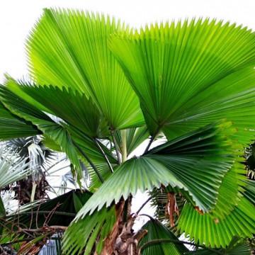 Palma wachlarzowata (Licuala grandis) 5 nasion